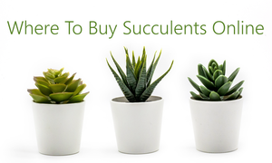 best places to buy succulents online