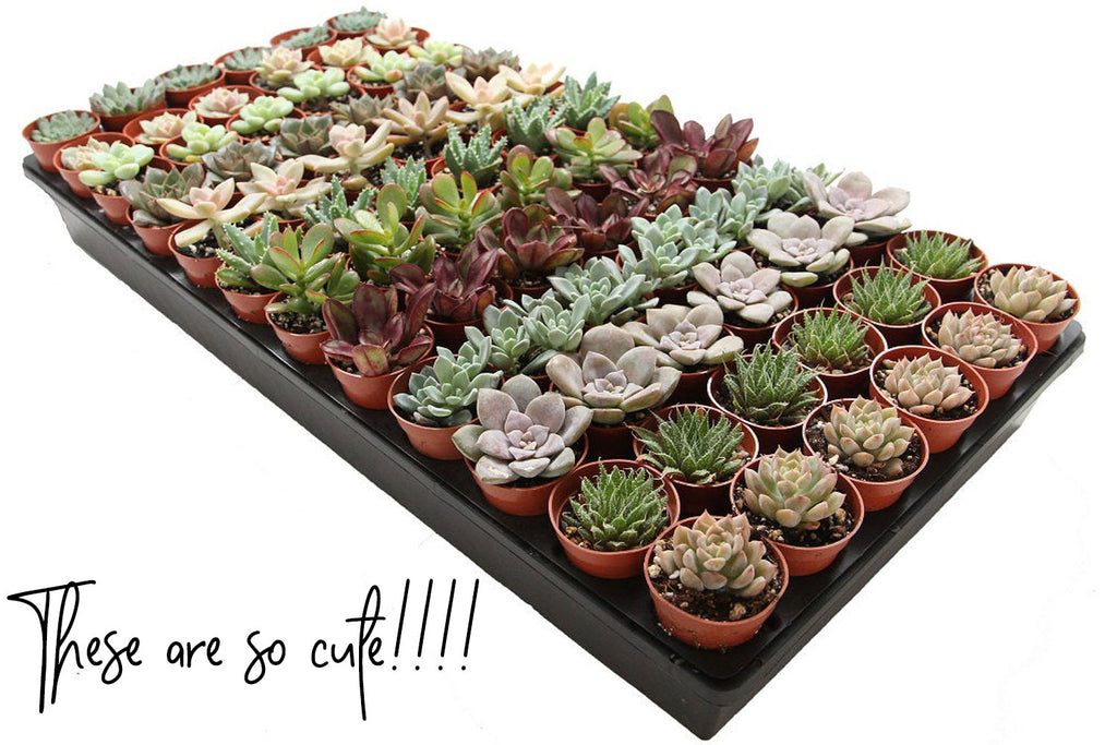 Valentine's Day succulent gifts for her