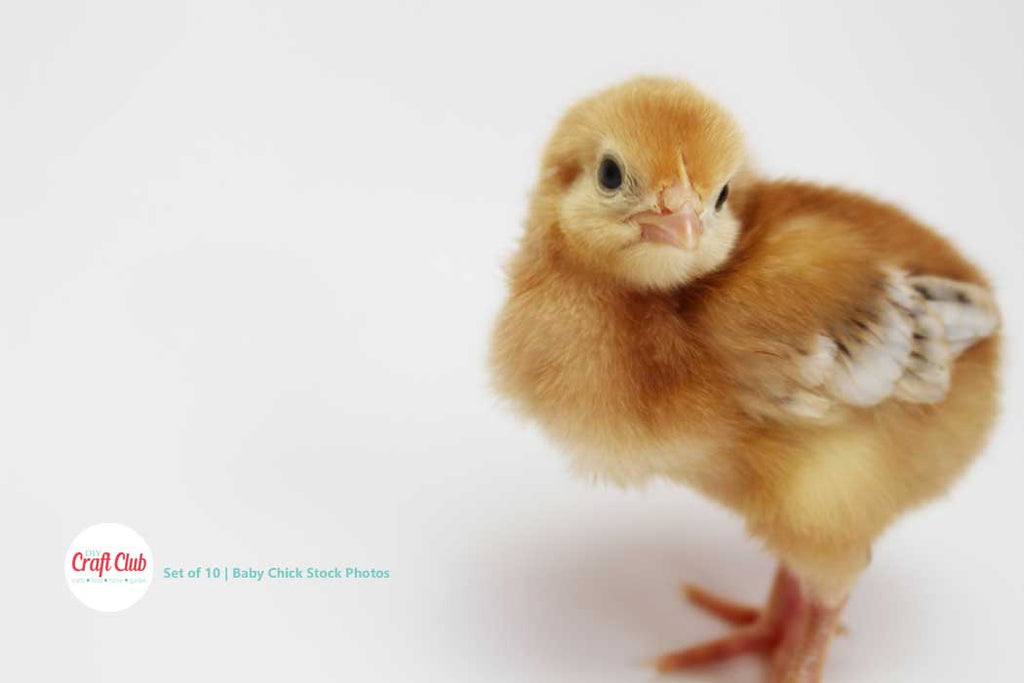 baby chick stock photos bundle of royalty free images