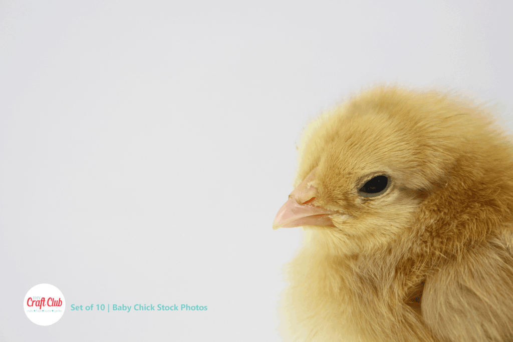 baby chick stock photos royalty free