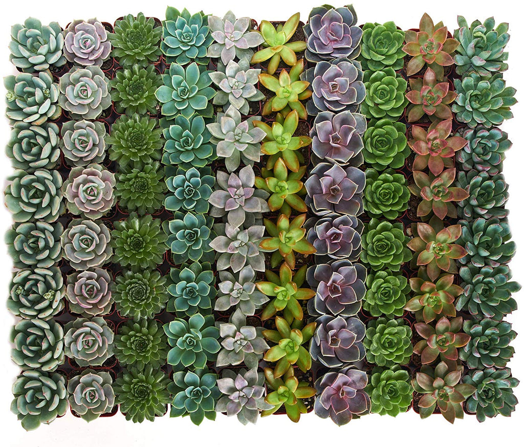 buy succulents online large bulk pacs on amazon