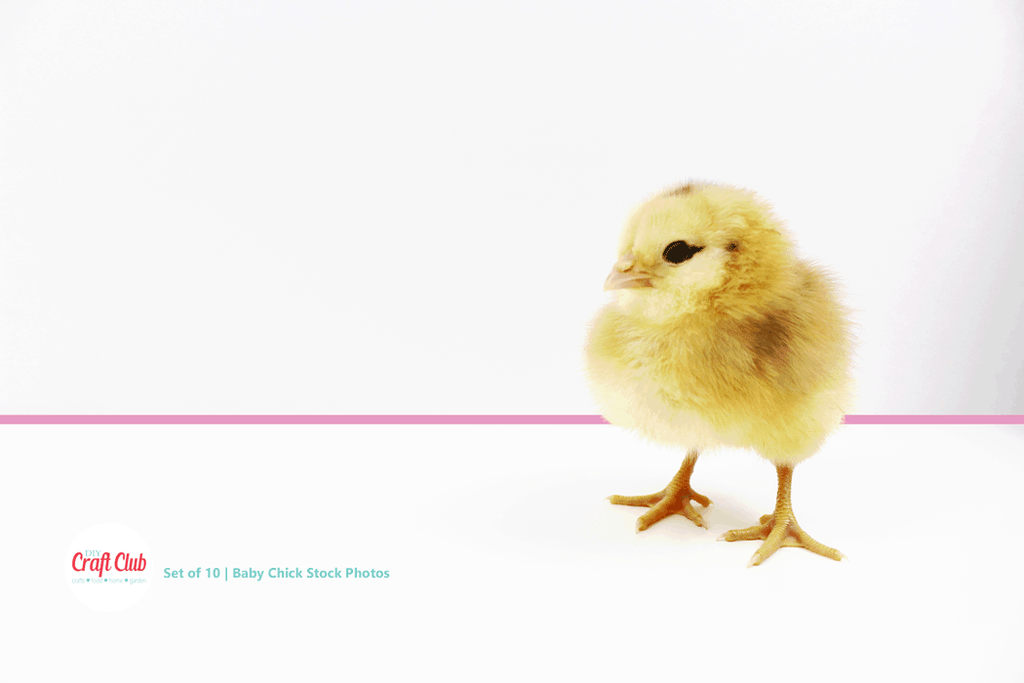 cute baby chick stock photos