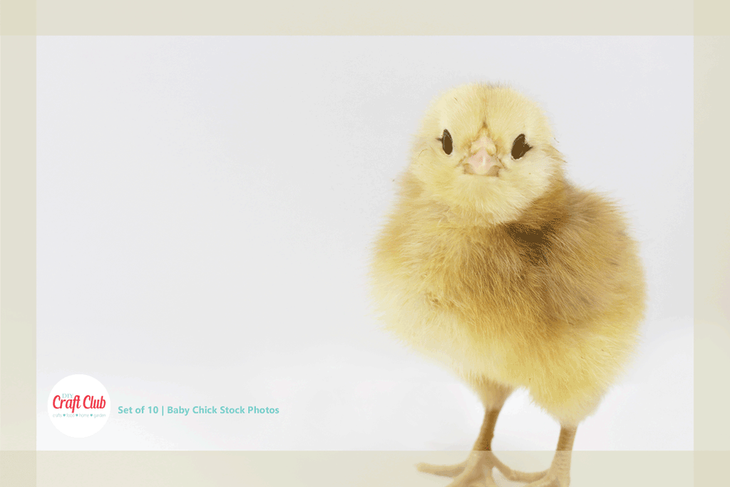 cute baby chick stock photos bundle