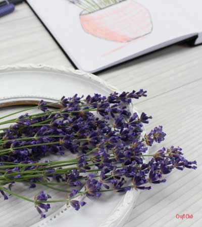 how to draw lavender