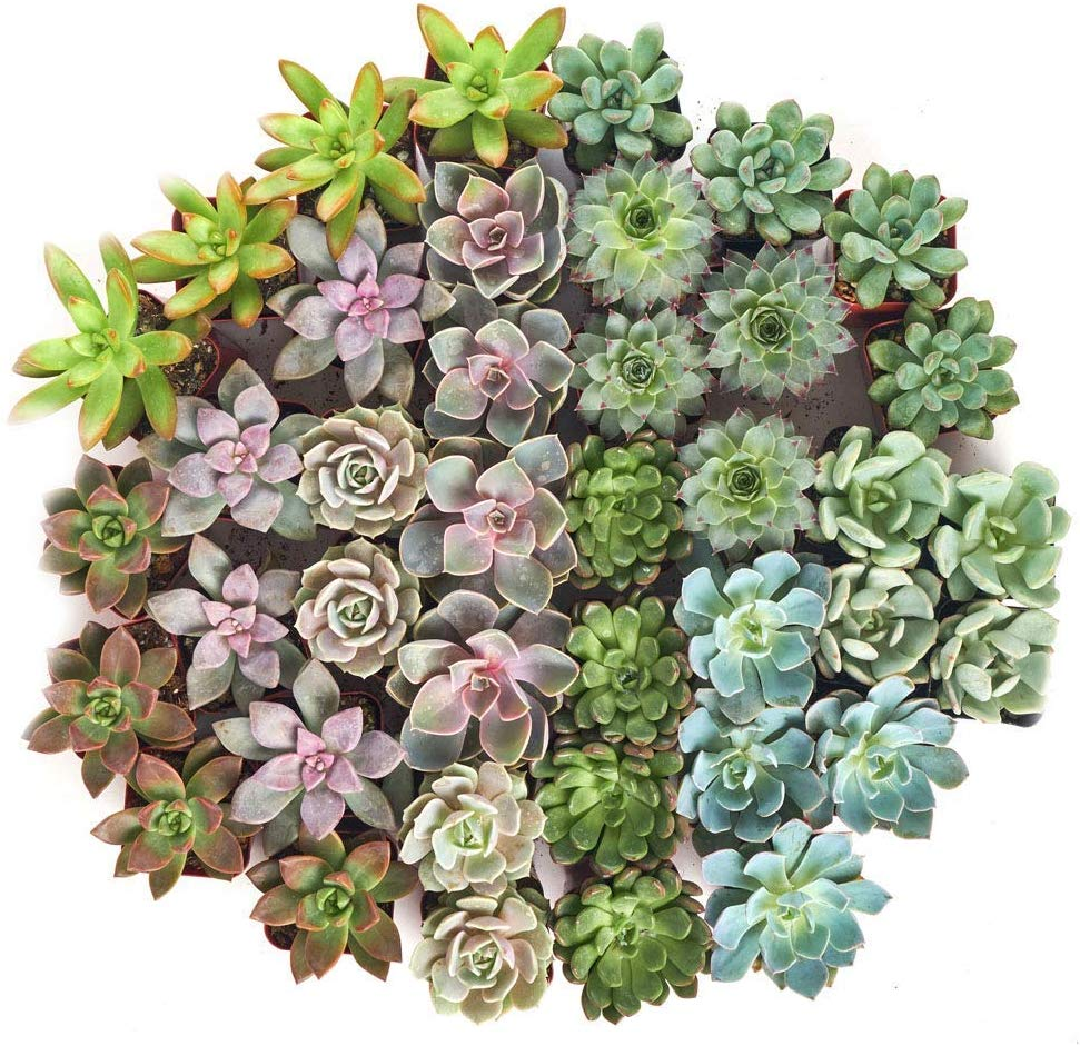 mini rosette succulents online