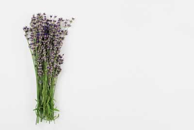 royalty fee lavender stock photos