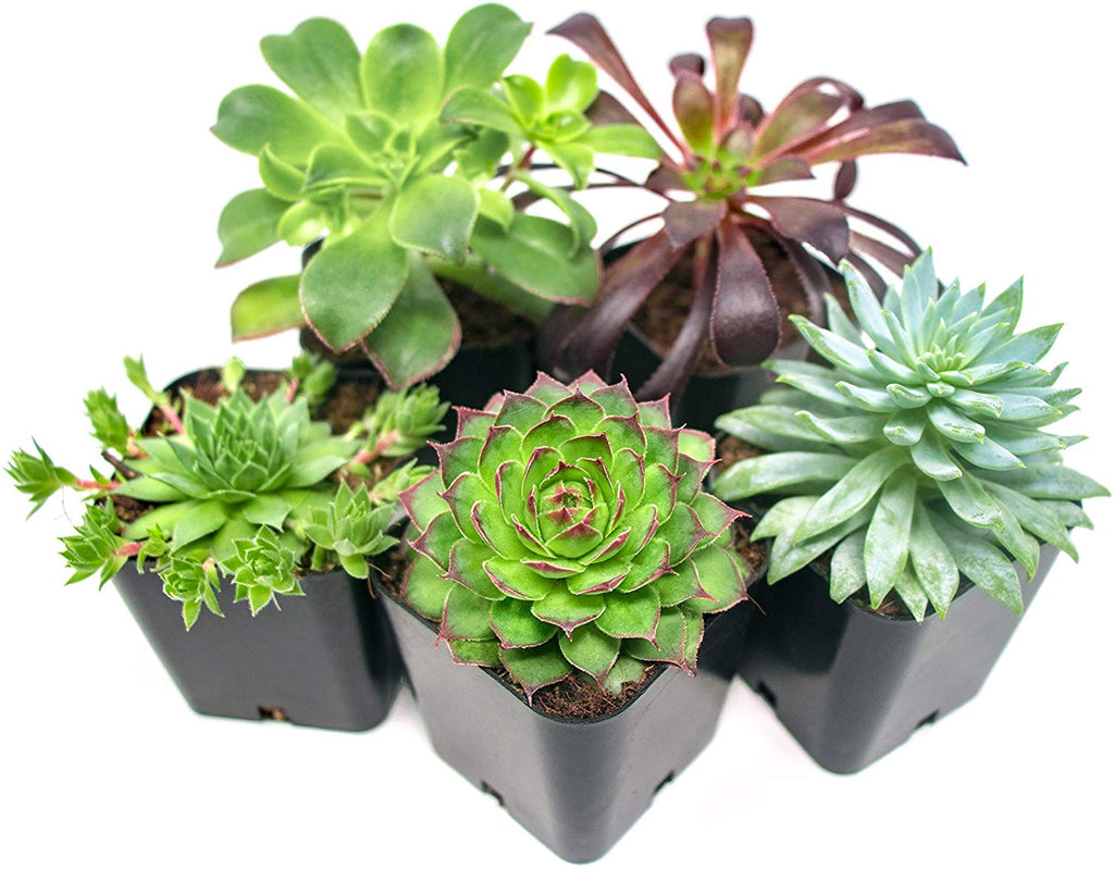 best succulent plants to buy online