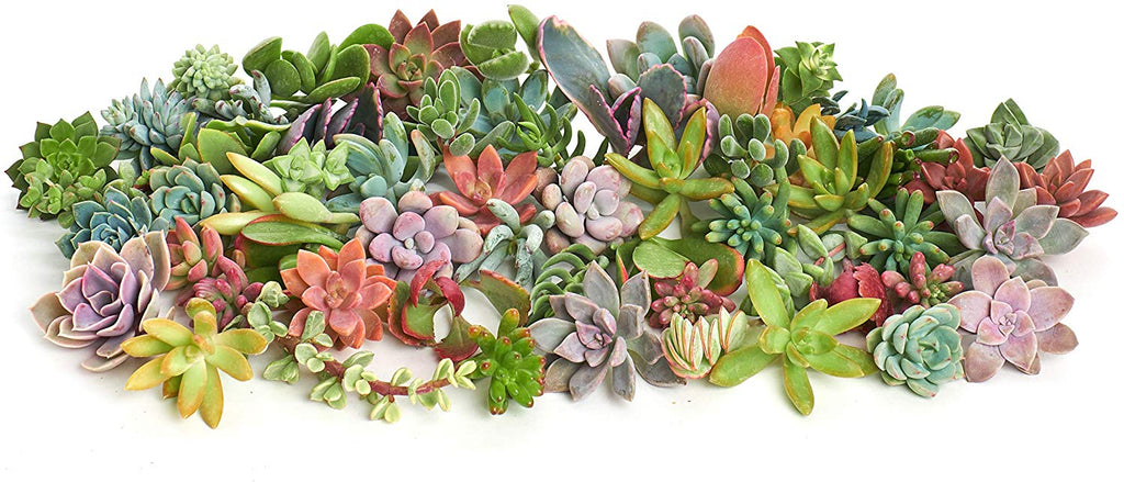 buy succulent cuttings online