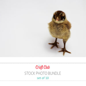 baby chick stock photos set of 10