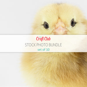 baby chick stock photos set of 10 pictures
