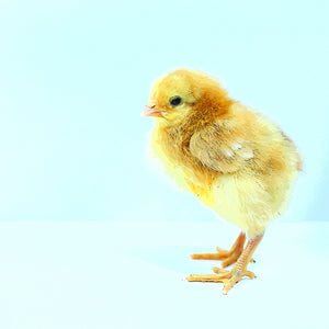 baby chick on blue background