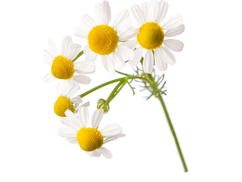 Chamomile, German Essential Oil, Organic
