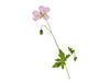 essential aura geranium rose flower