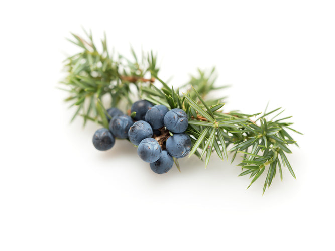Juniper berries with leaves