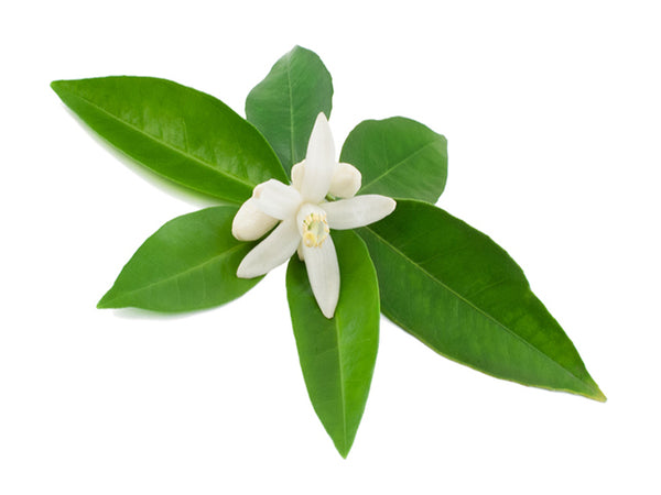 Neroli flower and leaves