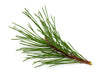 scotch pine needles