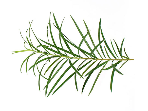 tea tree leaves