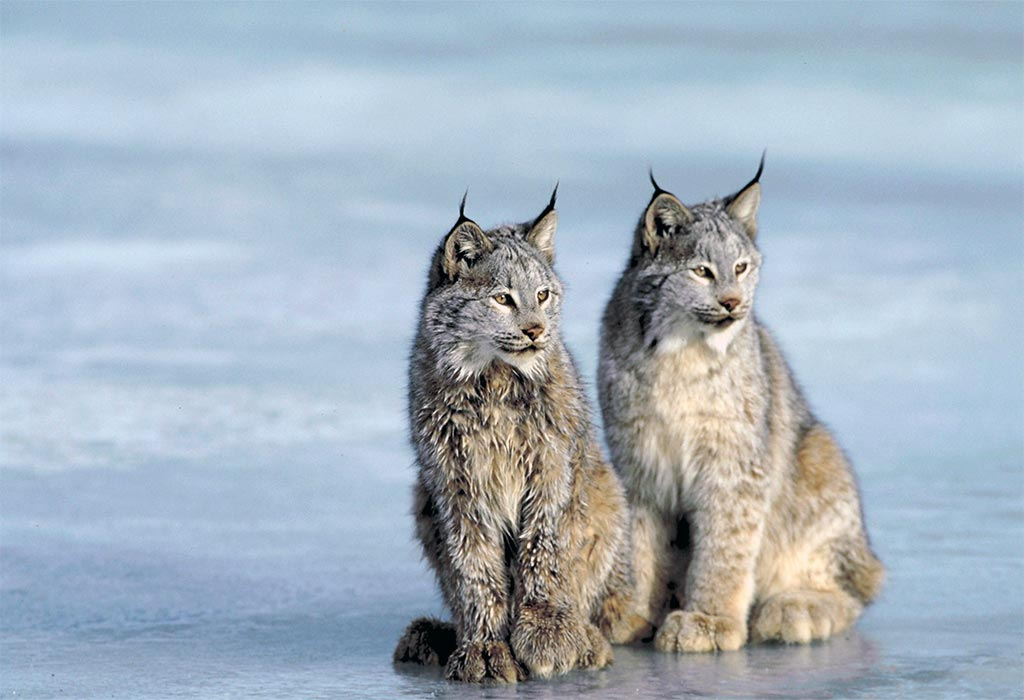 Super Cats: The Incredible Cats of the Wild