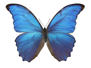 10 Types of Rare and Unusual Butterflies