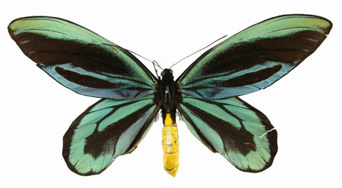 Queen Alexandra Birdwing Butterfly