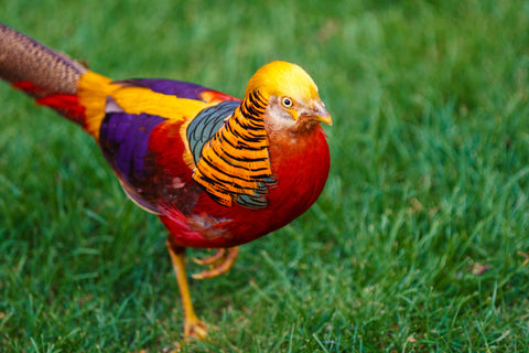 Golden Pheasant Bird