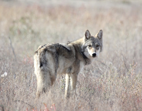 Steppe Wolf