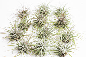 Ionantha Guat 8pcs for $20