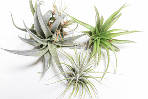 Set of 3 Different sizes of Air Plants