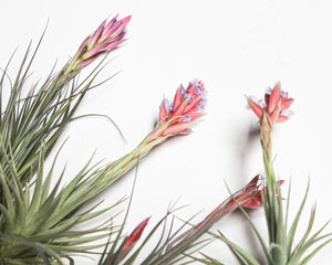 Blooming Air Plants