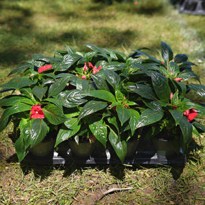 New Guinea Impatiens (Full Flat)