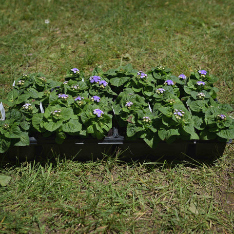 Ageratum-Hawaii Blue (full flat)