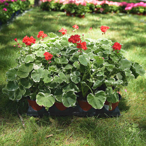 Double Bloom Geraniums (full flats)
