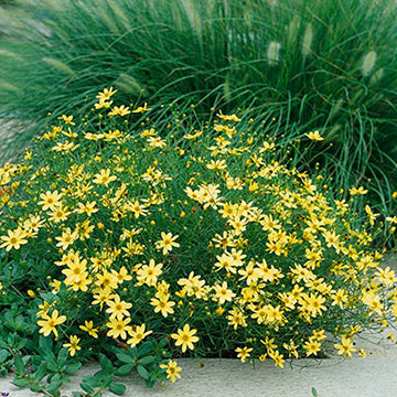 Coreopsis (Moonbeam)