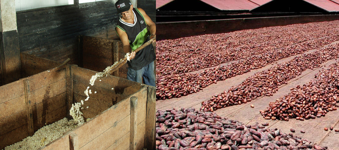 fermenting - drying of cocoa beans