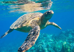 Turtle swimming in the sea, with a coral reef behind it