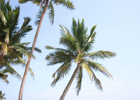 Light blue sky with 3 green palm trees blowing in the wind