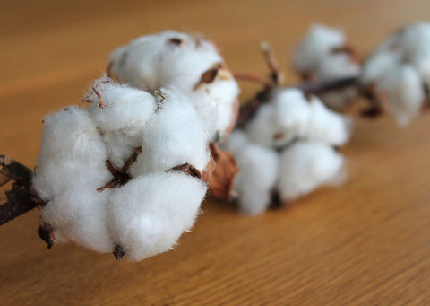 A bud of white cotton on a wooden surface