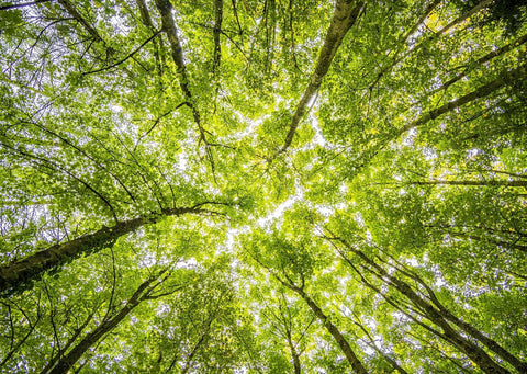 Looking up at a tree canopy from the forest floor. Sun starts to shine through the bright green leaves