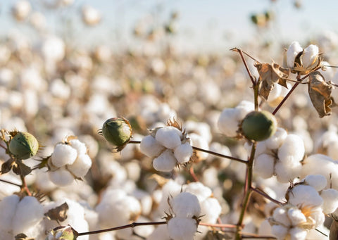 Against a pale blue sky, hundreds of cotton plants grow and are ready to be harvested