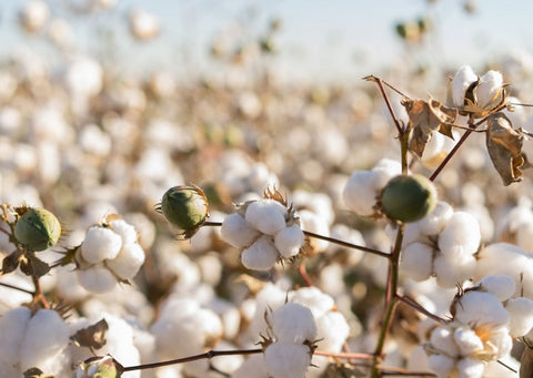 A field of organic cotton buds, with a light blue sky