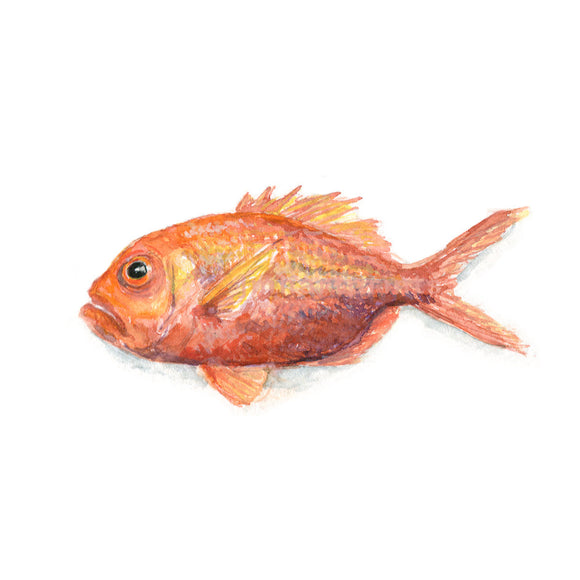 Watercolor Red Snapper, Red Snapper Print, Juvenile Red Snapper Print, Print for HIm
