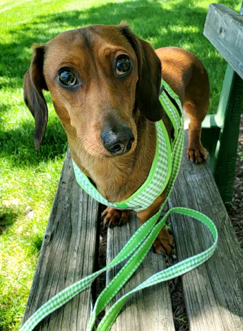 Gingham harness and leash set doxie dog