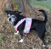 Ruby Chihuahua mix wearing cd7100