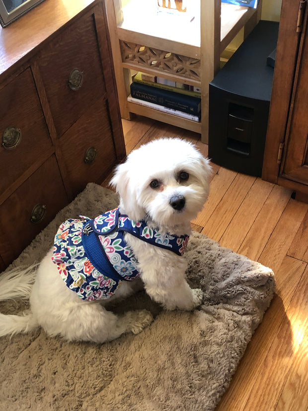 Daisy Mae Cavachon wearing Step n Go Harness