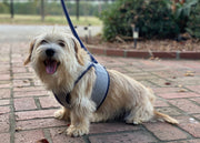 6955 Cloak & Dawggie Flannel Step N Go Small Dog Harness Navy on small dog model with optional matching leash