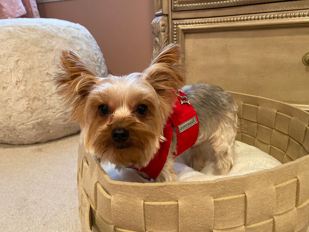 Step n Go Red Harness on Yorkie