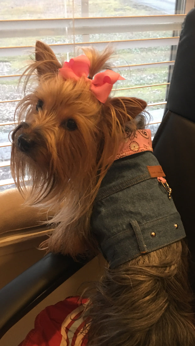 Adorable yorkie wearing denim coat