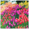 Image of teelaunch Canvas Wall Art 3 8 x 8 Tulips in Full Bloom Portrait - Canvas Wall Art
