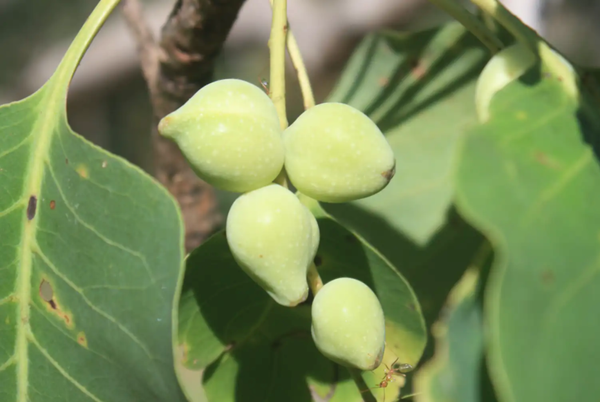 What is Kakadu Plum and why is it so good for your skin?