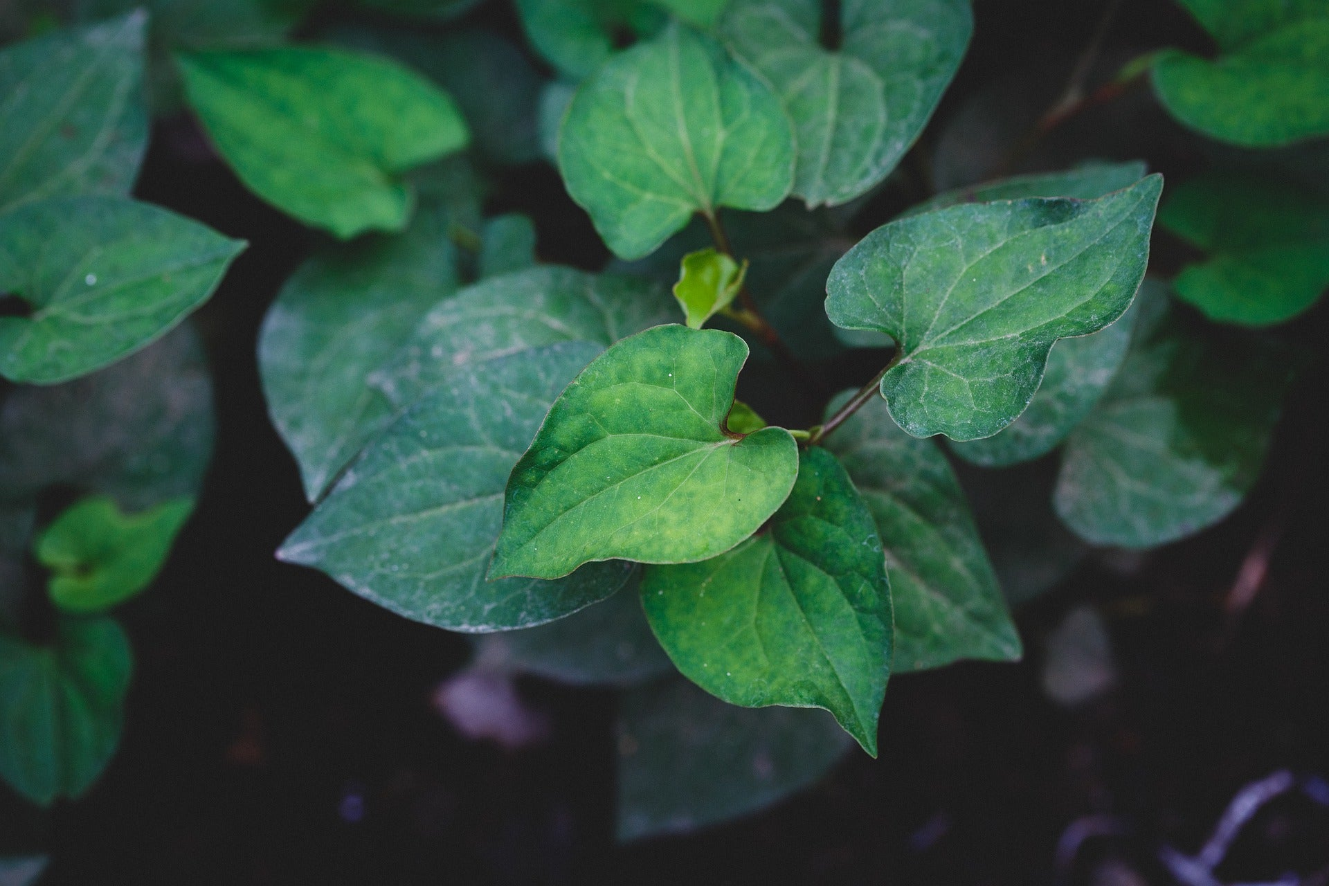 what-is-houttuynia-cordata